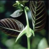 Растение Ункария