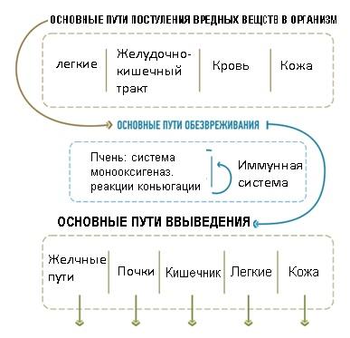 Схема детоксикации организма Истоки чистоты